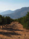 Creta, La steppa tra gli Ulivi nei pressi di Frangokastelo